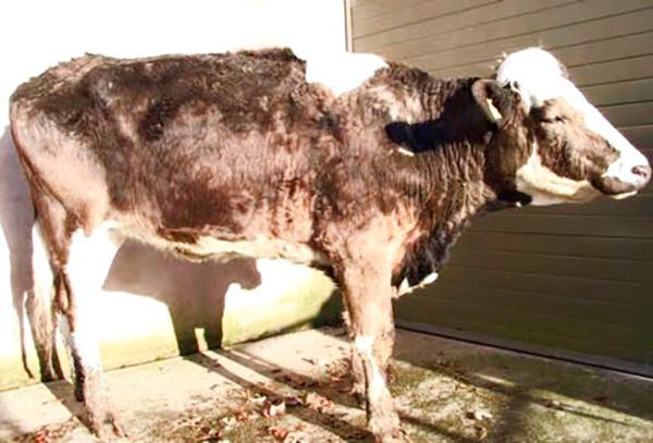 У теленка выпадает шерсть