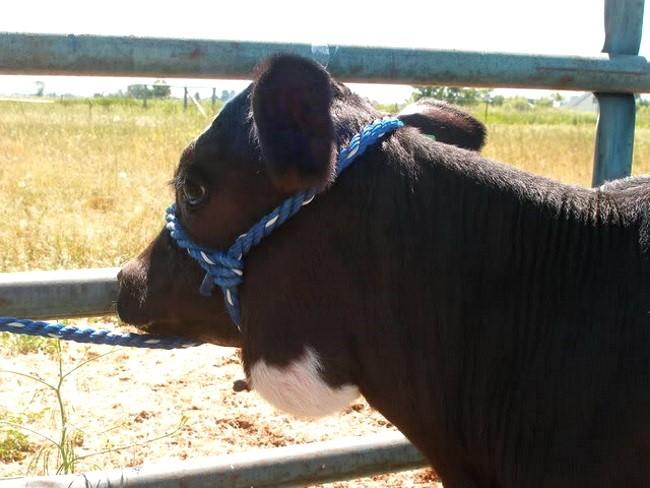 У коровы актиномикоз