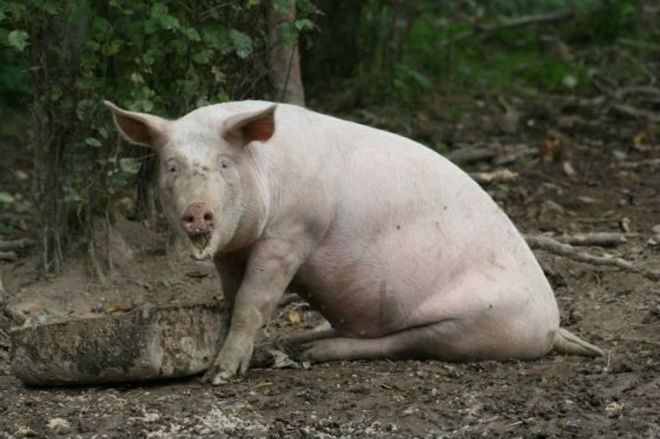 Свинья, страдающая болезнью Тешена