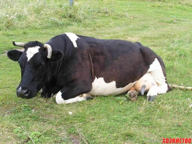 Корова не жует жвачку