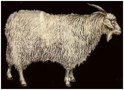 Ферганская порода коз