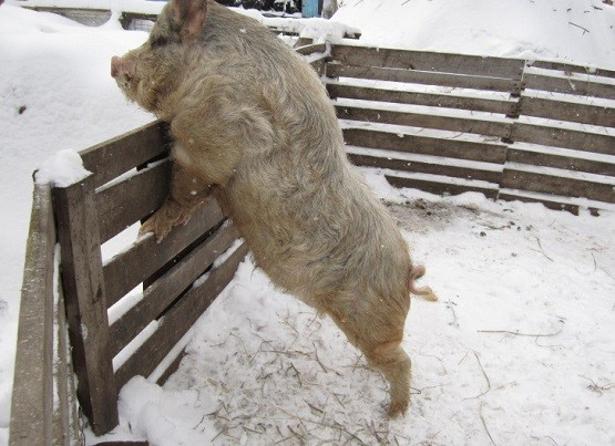 Свинья породы Кармал