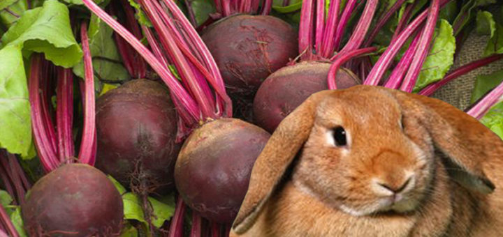 Красная свекла в рационе кроликов