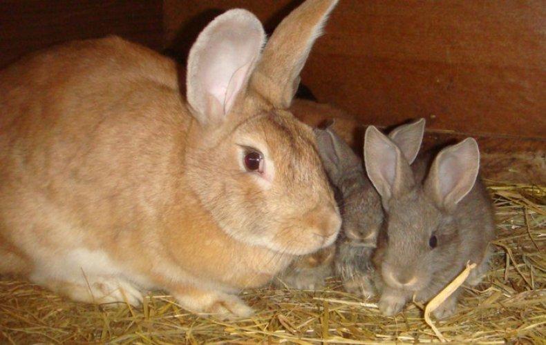 Выход крольчат из гнезда