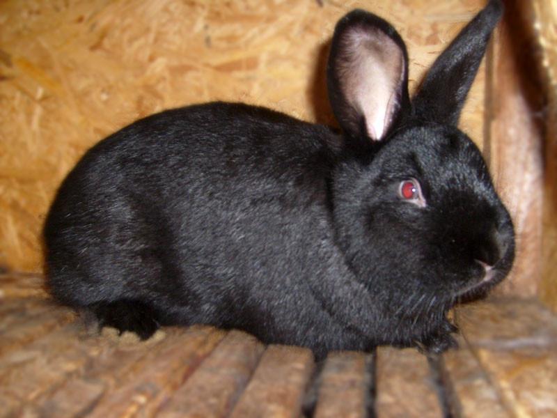 Черный новозеландcкий кролик