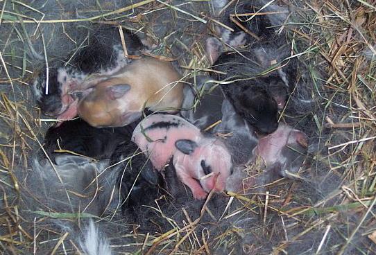 Новорожденный молодняк у кроликов