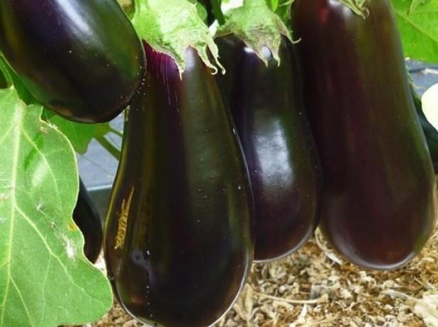 Плоды Черного красавца