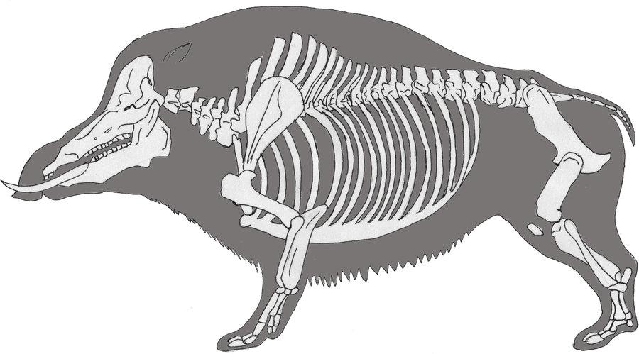 Скелет свиней