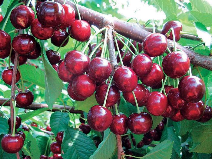 Плоды черешни Ревна