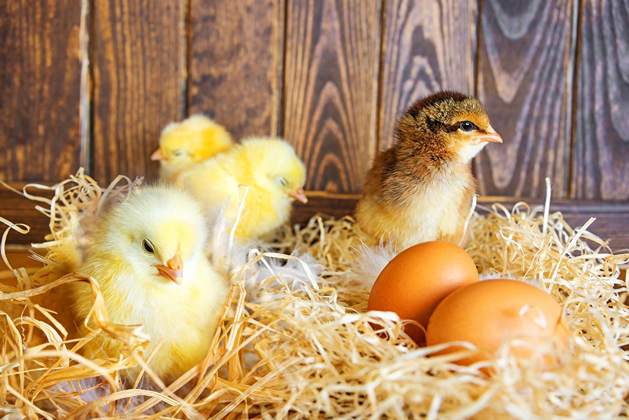 Как на свет появляются цыплята