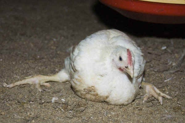 Цыпленок не может встать на лапки