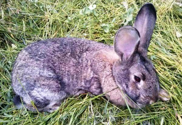Кролик, больной кокцидиозом