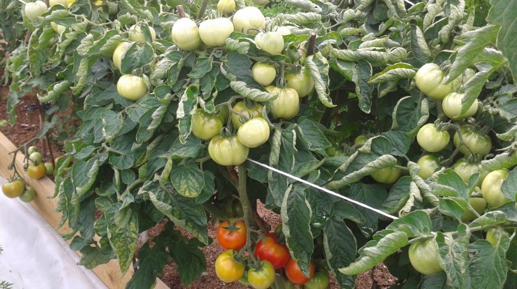 Плоды томата дубок
