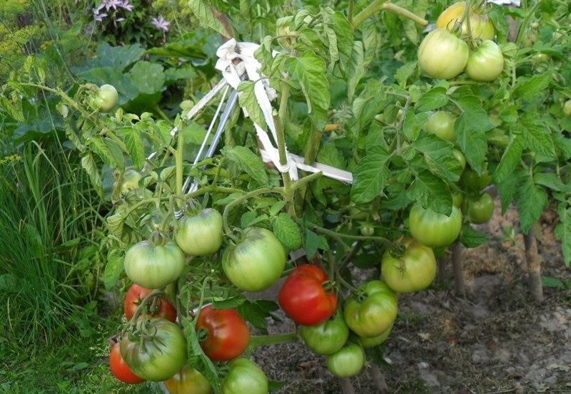 Выращивание томатов Дубрава