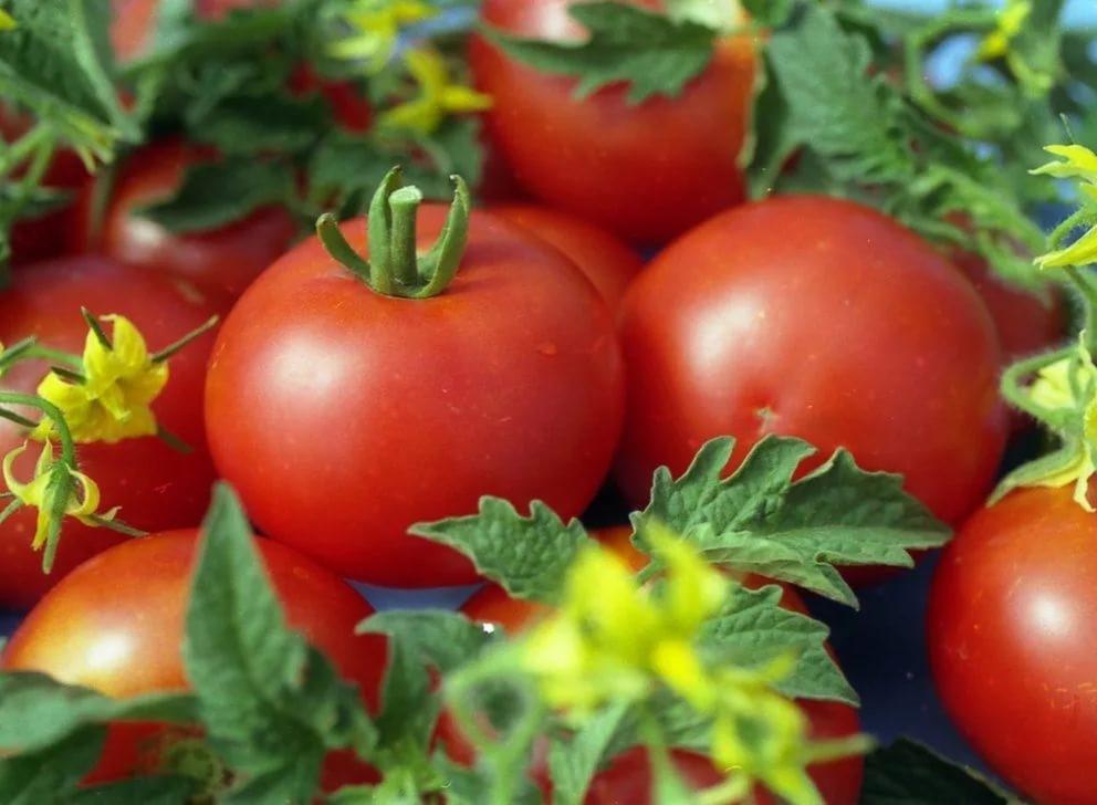 Плоды томата Джина