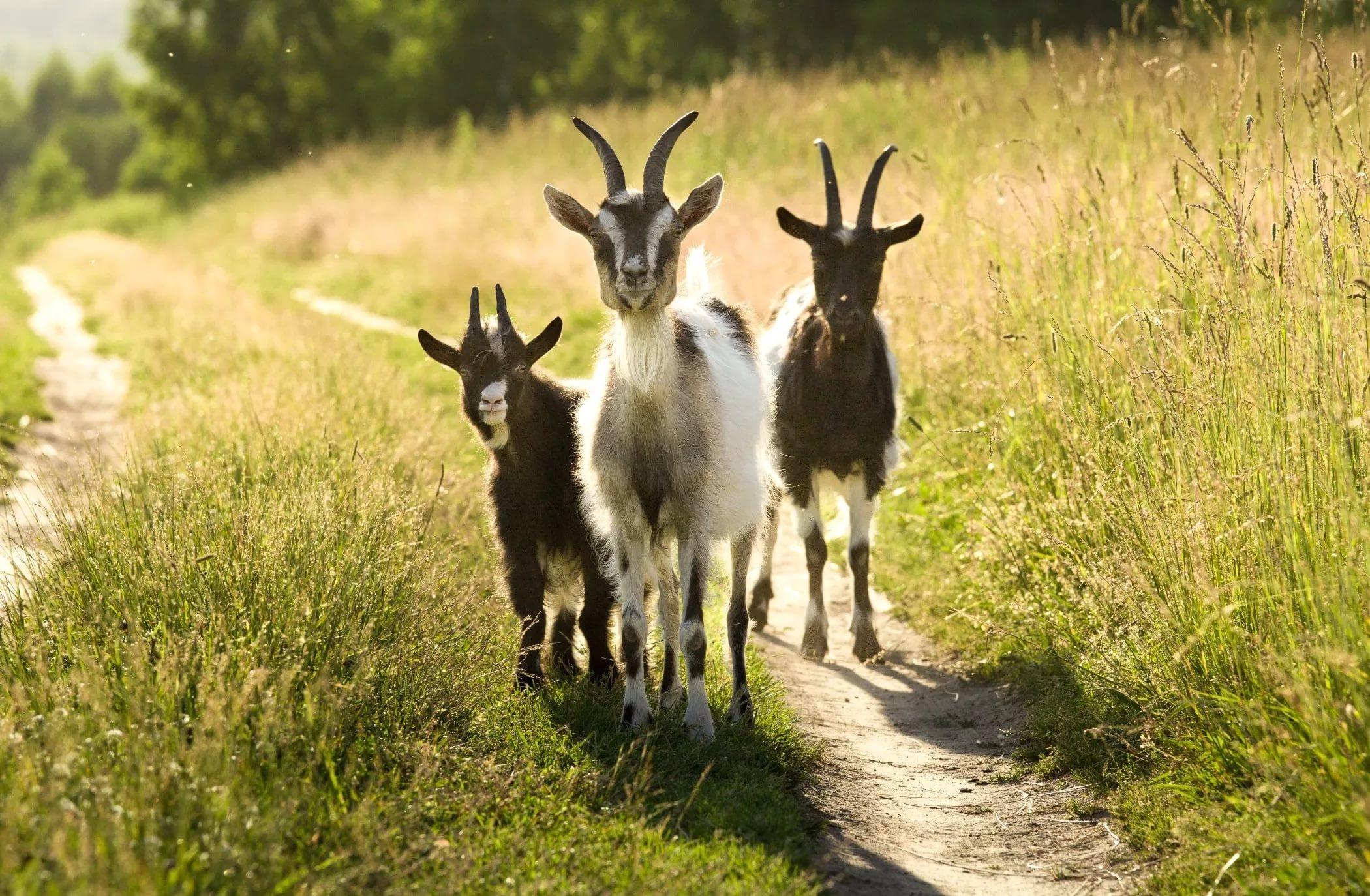 Случной период у коз