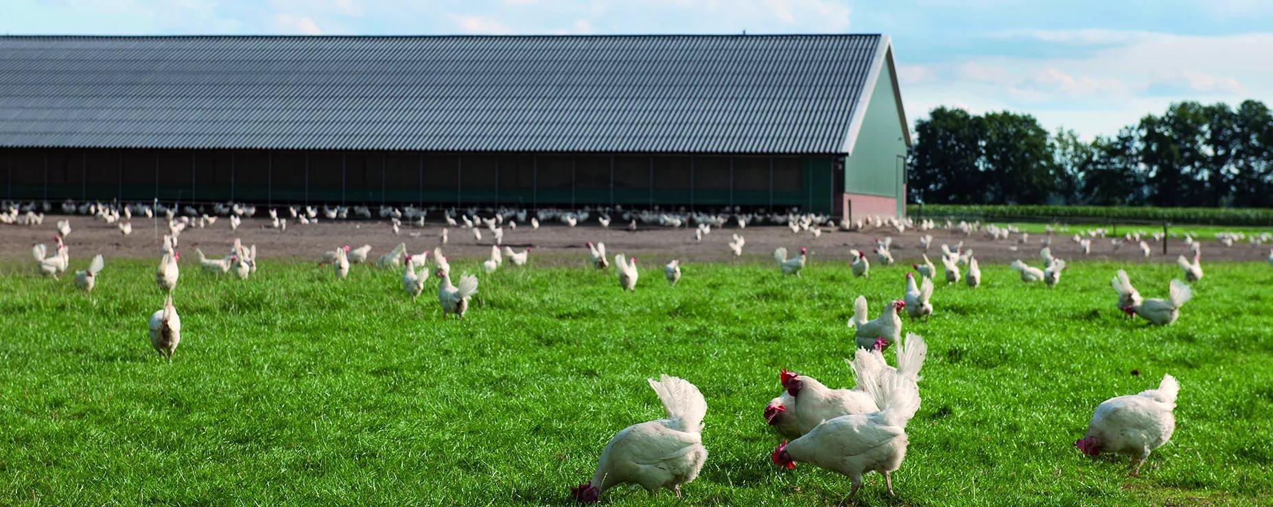 Мини-птицеферма на 500 кур: как сделать самостоятельно