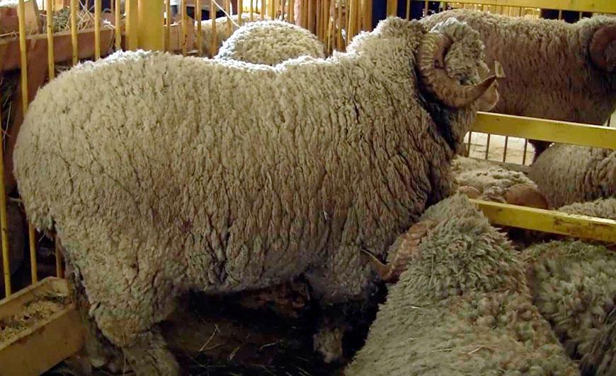 Тонкорунная порода овец