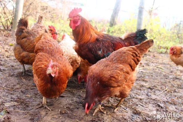 Куриное семейство шейвер браун на прогулке