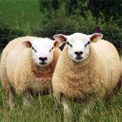 Овцы породы тексель