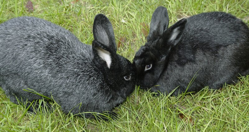 Пара черно-бурых кроликов на выгуле