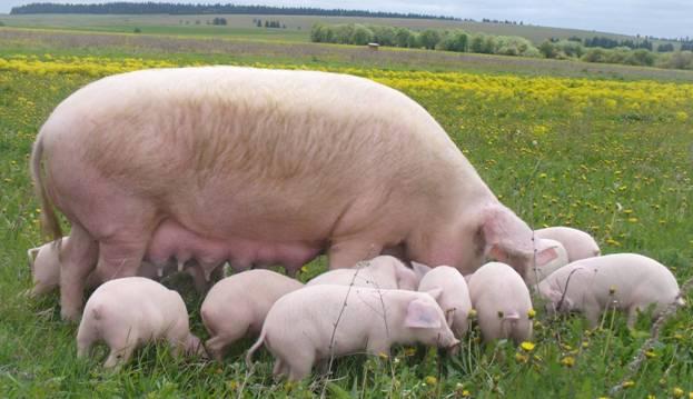 Крупная белая свиноматка с потомством на пастбище