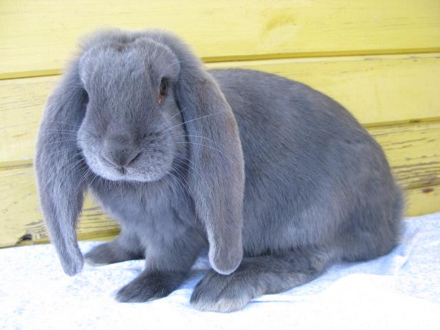 Кролик породы голубой французский баран