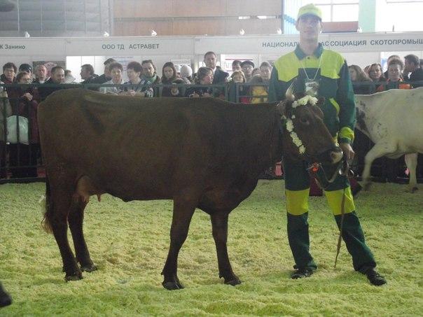Бестужевская порода скота