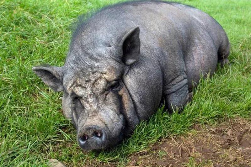 Свиноматка отказывается от кормов и много времени проводит лежа: в чем причина