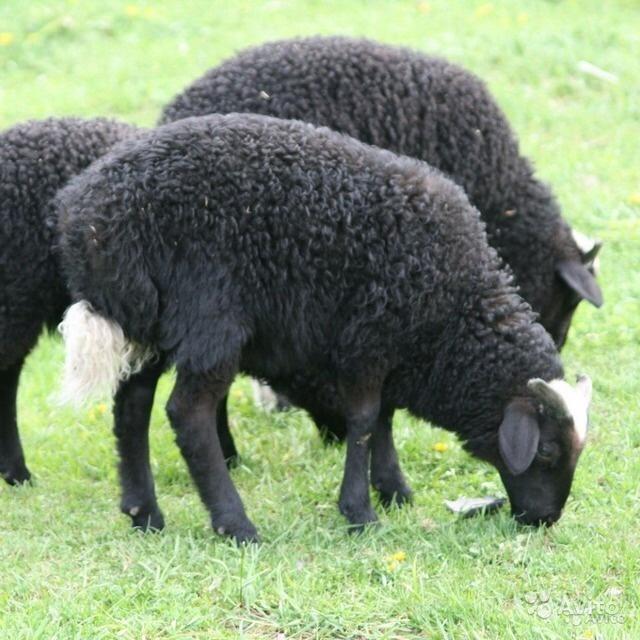 Карачаевские овцы