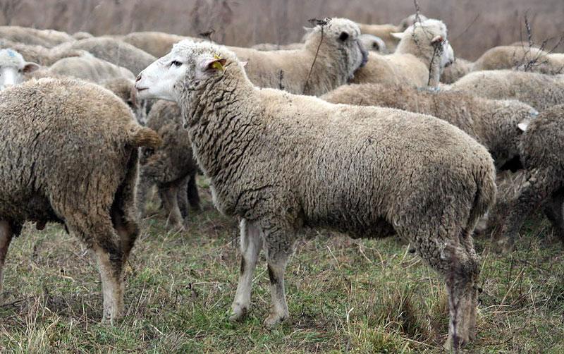 Стадо цигайских овец