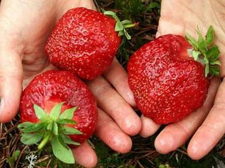Плоды клубники Гигантелла