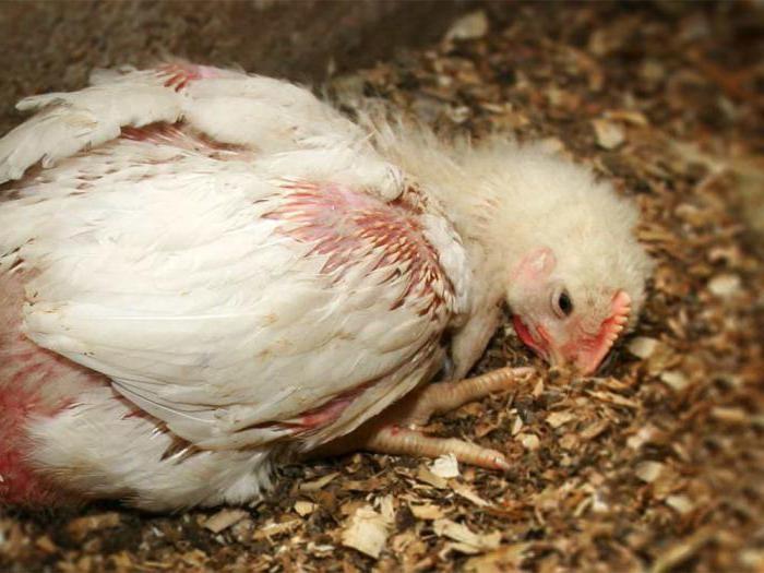 Кокцидиоз у кур, цыплят бройлеров — симптомы и лечение в домашних ...