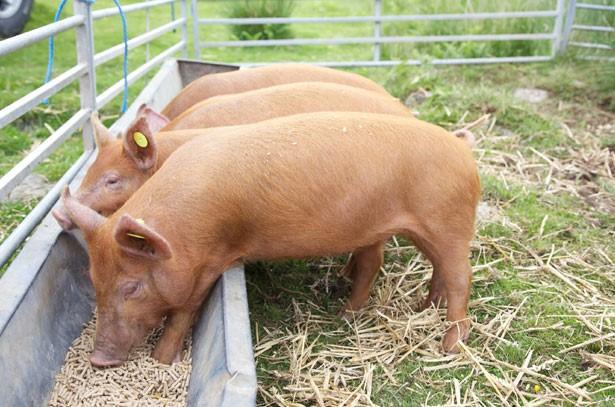 Свиньи едят