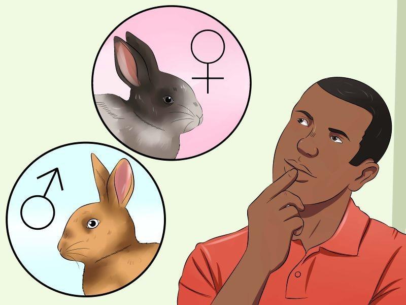 Вопрос пола кролика важен для человека, который их разводит