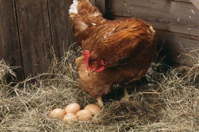 Курица несет яйца