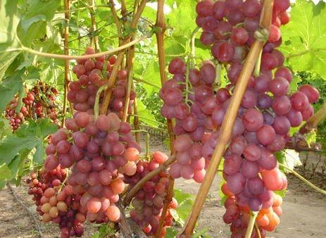 Плоды винограда Ливия
