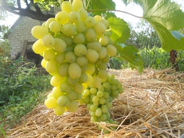 Плоды винограда Лора