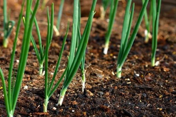 Выращивание лука Геркулес