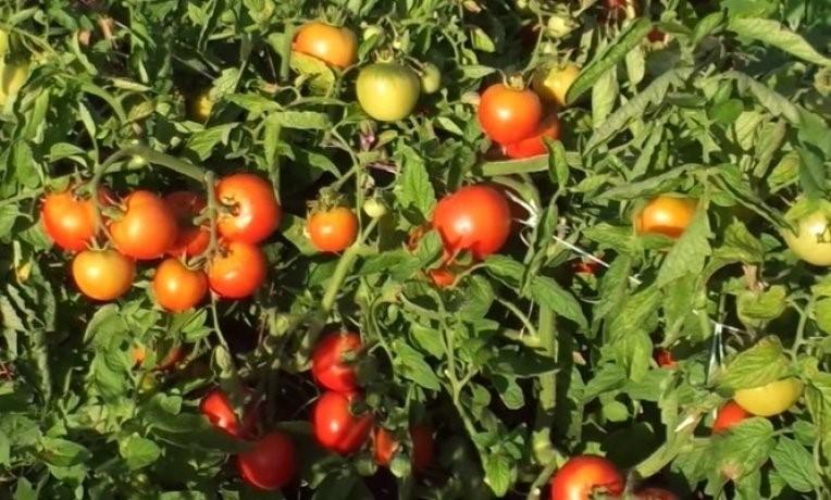 Плоды томата Ляна
