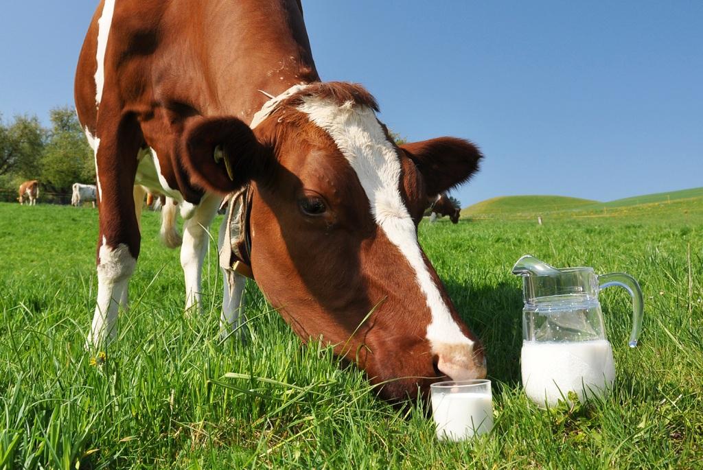 Лактационный период у коров