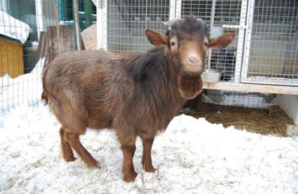 Нигерийские карликовые козы