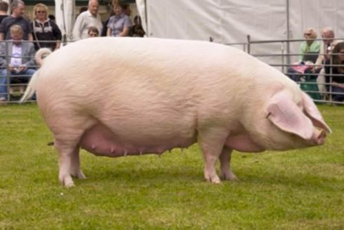 Свинья откормленная