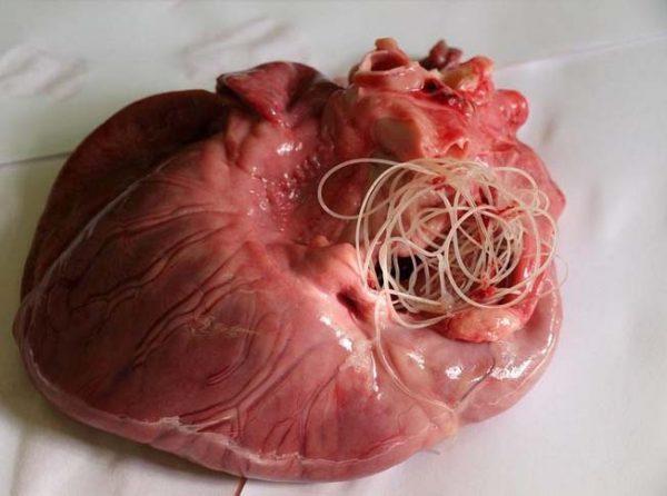 Глисты в сердце теленка