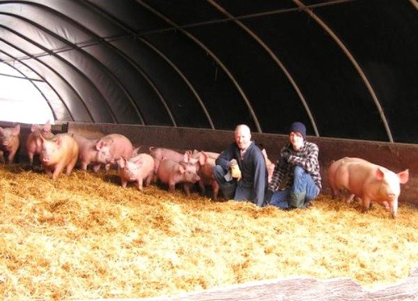 Ангар со свиньями