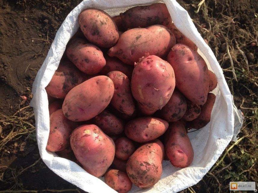 Картофель «розара»