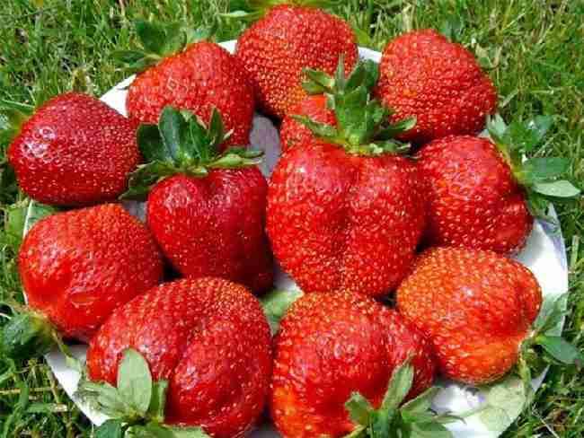 Крупные плоды клубники сорта «зефир»