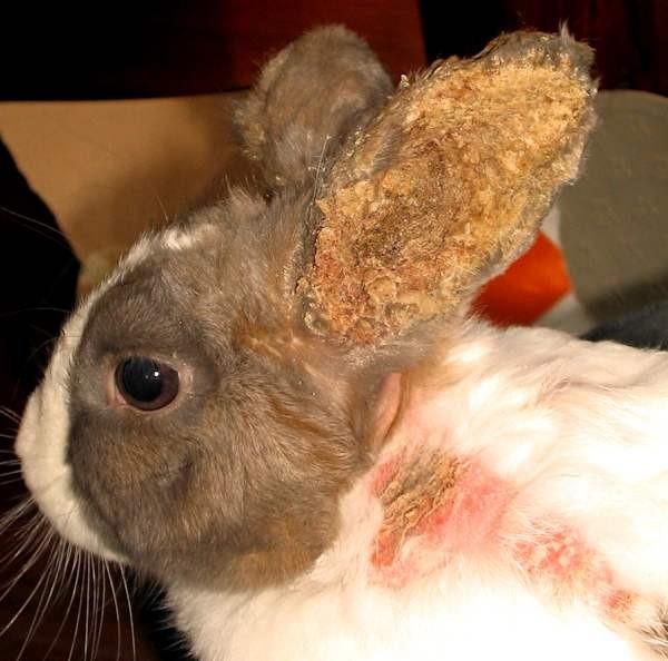 Псороптоз у кролика