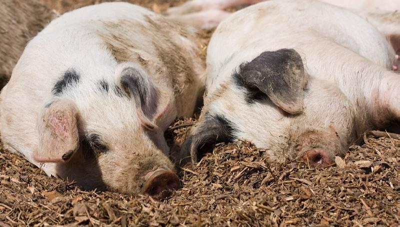 Отсутсвие охоты у свиньи