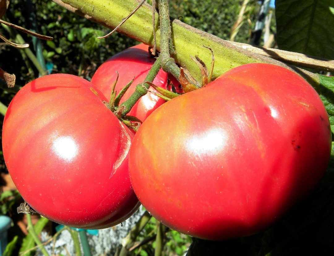 "Плоды томата ""Розовый гигант"""